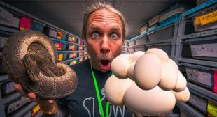 WORLD RECORD CLUTCH OF SNAKE EGGS??? MAYBE?? | BRIAN BARCZYK