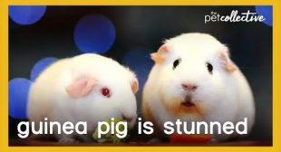Guinea Pig Looks Stunned