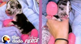 Tiniest Puppy Grows Up To Be HUGE| The Dodo Little But Fierce