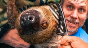 "MY SLOTH ""DROGO"" LOVES TO BE BRUSHED!! TOO CUTE!! 