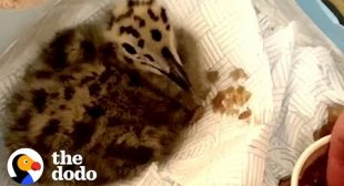Rescue Baby Seagull Learns To Fly Away In Just 6 Weeks | The Dodo