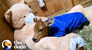 Sick Baby Cow Headbutts His BFFs All Day Now | The Dodo Little But Fierce
