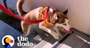 Wobbly Husky Teaches Himself To Climb Stairs | The Dodo Faith = Restored