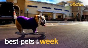 Extreme Bulldog!!!   Best Pets of the Week