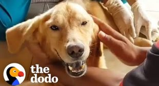 Golden Retriever Spent His Life In A Cage And Now He Runs On The Beach | The Dodo Heroes