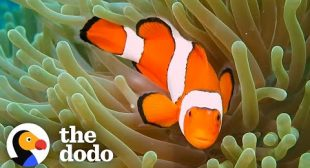 The Amazing Life Cycle Of A Clownfish | The Dodo