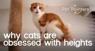 Why Cats are Obsessed with Heights | Pet Pointers