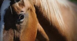 Gastric Ulcers In Horses: Search For Biomarkers, Treatments Continues