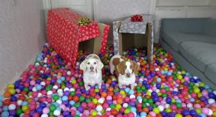 Happy Dogs Get HUGE Ball Pit for Christmas! Cute Dogs Maymo, Potpie & Penny Christmas Surprise