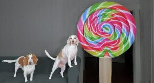 Dogs Get Excited by Giant Lollipop Prank! Funny Dogs Maymo & Potpie vs Giant Candy Pranks